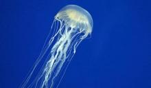 Что делать, если ужалила медуза: первая помощь, препараты, народные средства