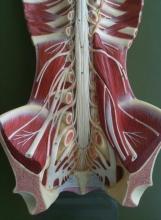 Анатомия: поясничное сплетение и его ветви