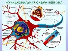 Миелиновая оболочка нервного волокна: функции, восстановление