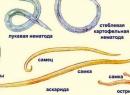 Анализ на энтеробиоз: срок действия, как делается