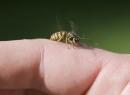 Как снять отек от укуса осы? Первая помощь