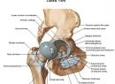 Анатомия тазобедренного сустава: строение, мышцы, связки