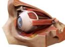Анатомия глаза: строение, функции