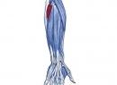 Почему болит локтевой мышца: причины, диагностика