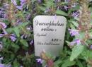 Трава змееголовник: лечебные свойства и противопоказания. Применение в народной медицине
