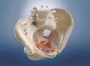 Тазовая кость, анатомия и сохранения здоровья