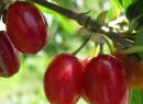 Настойка кизиловая: врачебный рецепт