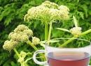 Лекарственное растение любисток. Корень любистока: описание, лечебные свойства, рецепты и особенности применения