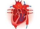 Оболочки сердца. Строение сердца человека