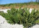 Солерос: трава-целитель. Применение