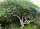 Гваяковое дерево: лечебные свойства