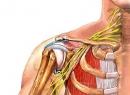 Анатомия плечевого сустава. Строение и функции плечевого сустава