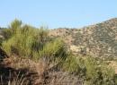 Эфедра хвощевая: распространение, описание, применение