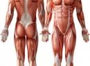 Мышцы - что это такое? Значение мышц в организме человека