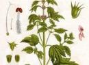 Трава пустырника: лечебные свойства, противопоказания, особенности применения и отзывы