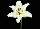 Белая лилия: лечебные свойства, применение в народной медицине, рецепты