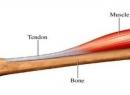 Что такое сухожилия: определение, функции, примеры