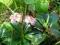 Зимолюбка зонтичная: описание, полезные свойства, применение и противопоказания