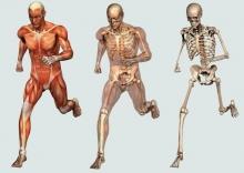 Кость как орган: строение, свойства, функции