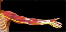 Срединный нерв человека: описание, анатомия и особенности строения. Симптомы поражения срединного нерва