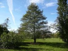 Соплодия ольхи: применение, полезные свойства и противопоказания