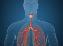 Трахеи и бронхи: функции и заболевания